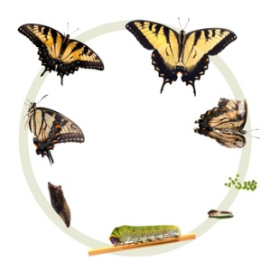 Life cycle of the Tiger Swallowtail butterfly
